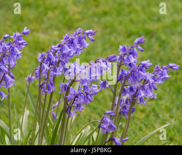 An example of flowering Hyacinthoides x massartiana hybrid bluebell in a garden setting - Stock Photo