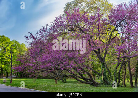 Beautifully blossomed in purple wood in a park - Stock Photo