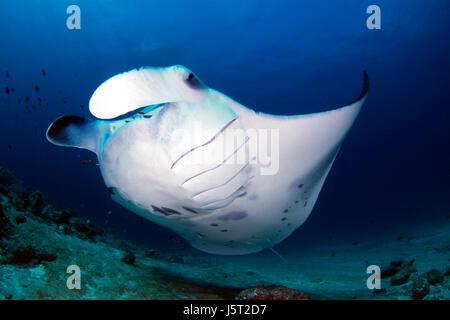 maldives dive skate salt water sea ocean water blue holiday vacation holidays - Stock Photo