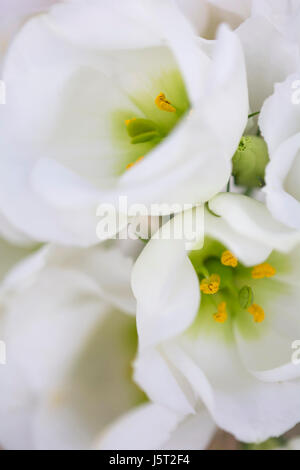 Prairie gentian, Eustoma grandiflorum, Close up of white flowers showing stamen. - Stock Photo