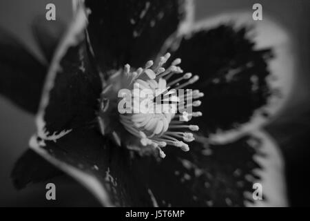 Hellebore Flower in black and white - Stock Photo