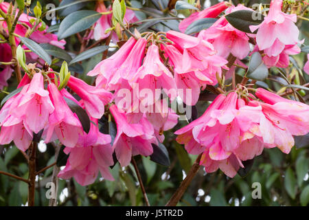 Hanging pink bell flowers of the May blooming evergreen shrub, Rhododendron cinnabarinum 'Waterfall' - Stock Photo