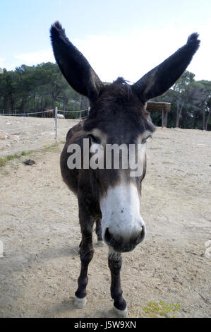 donkey head and ears in the Montseny, Catalunya.  Simple, basic, mammal, family Equidae, specifically to the order - Stock Photo