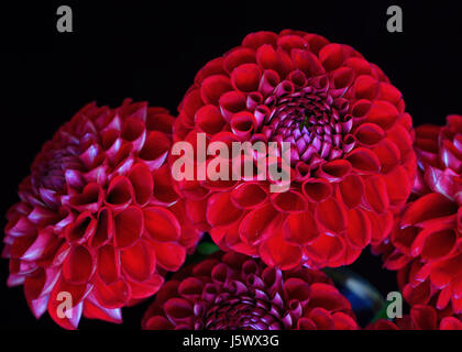 A bunch of red garden dahlias on black. - Stock Photo