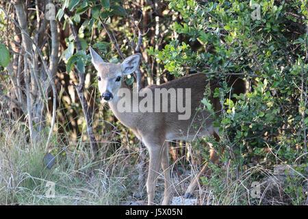Key Deer, Big Pine Key, Florida - Stock Photo