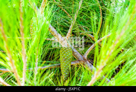 Spruce cone green on green, fresh and young. Resting and growing on a branch and surrounded with other branched - Stock Photo