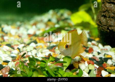 honey gourami - colisa chuna - Stock Photo