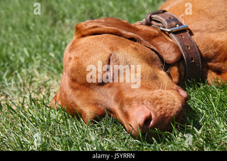 lie lying lies dog sleep sleeping idle facilitate ease resting relax recover - Stock Photo