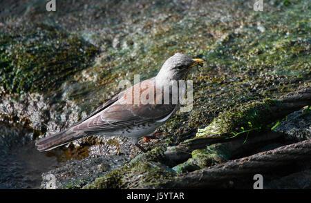 bird birds thrush throttle fodder bird insects birds river bed juniper thrush - Stock Photo