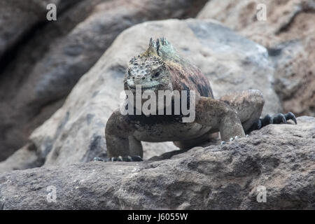 Large marine iguana on a rock in the Galapagos - Stock Photo