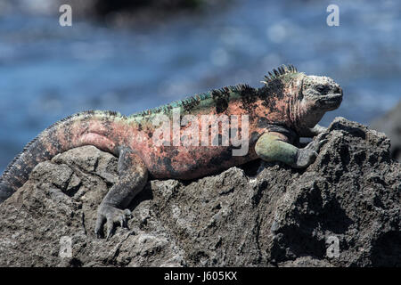 Marine iguana on a rock in the Galapagos - Stock Photo