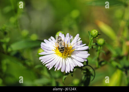 Macro of  bee feeding on daisy - Stock Photo