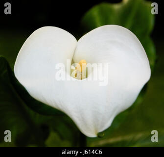 Close up of Calla Lily flowers against natural green background - Stock Photo