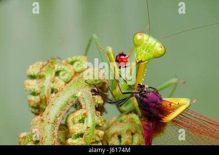 Praying mantis feeding on dragonfly. Hierodula.sp habitat in Malaysia - Stock Photo