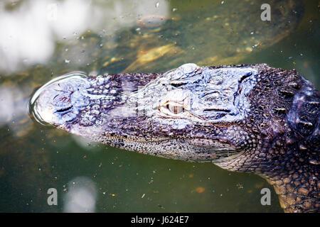 Indiana Valparaiso Zao Island Entertainment Center alligator animal reptile water head eyes float predator wildlife - Stock Photo