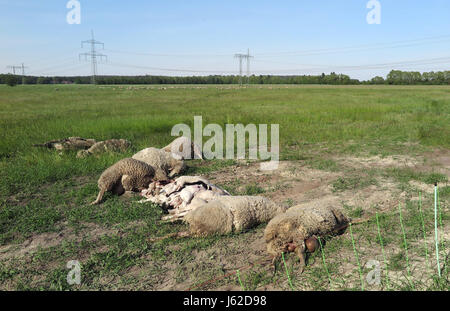 Kummersdorf, Germany. 18th May, 2017. Killed sheep lie on a maeadow in Kummersdorf, Germany, 18 May 2017. Shepherd - Stock Photo
