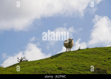hill new agriculture farming field sheep land zealand realty ground lawn green - Stock Photo