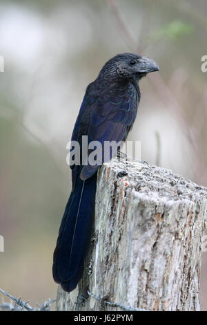 groove-billed ani - Stock Photo