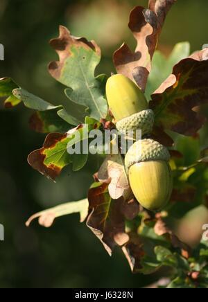 leaf tree leaves oak nut acorns macro close-up macro admission close up view - Stock Photo