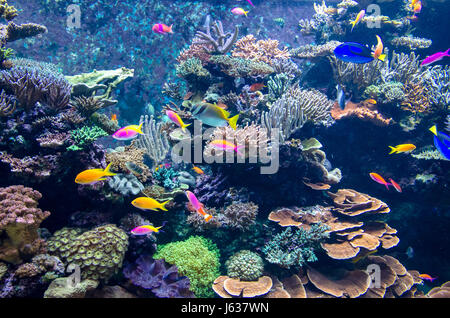 Colorful fishes and corals in the aquarium - Stock Photo