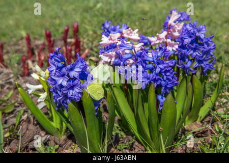 Hyacinth flowers in spring on a bed - Stock Photo