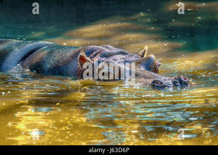 Image of a large mammal of a wild animal, hippopotamus in water
