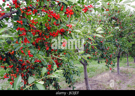 Michigan Traverse City Old Mission Peninsula cherry orchard tree fruit Cerasus clusters farming agriculture branch - Stock Photo