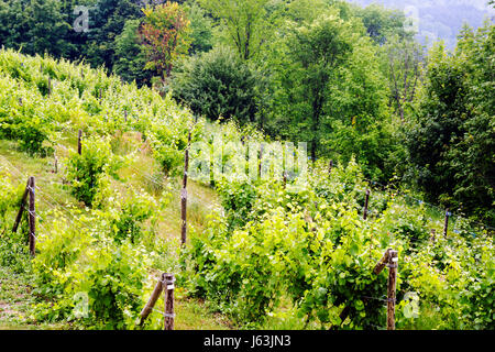 Michigan Traverse City Leelanau Peninsula Ciccone Vineyard and Winery grapes plants post farm agriculture estate - Stock Photo