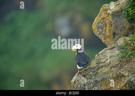 horned puffin (Fratercula corniculata), Alaska, Pribilof Islands, Bearing Sea - Stock Photo