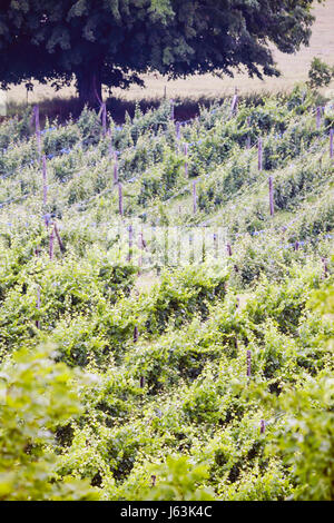 Michigan Traverse City Leelanau Peninsula Cicconne vineyard winery vines grapes trellis grapes plants farm agriculture - Stock Photo