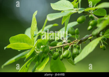 Young fruit forming on the branches of a Victoria Plum tree, Prunus domestica 'Victoria' - Stock Photo
