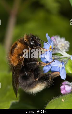 Bombus hypnorum queen feeding on Wood Forget-me-not (Myosotis sylvatica) flowers - Stock Photo
