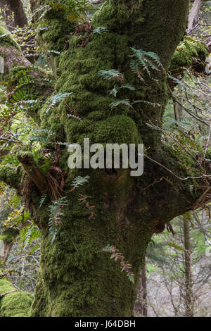 Epiphytic Common Polypody ferns (Polypodium vulgare) growing from the moss-covered trunk of an old oak tree in Snowdonia - Stock Photo