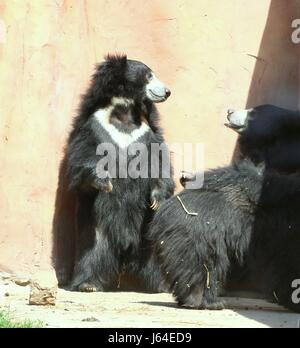 Three Indian Sloth bears (Melursus ursinus) goofing around in Safari Park Beekse Bergen zoo, Hilvarenbeek, Netherlands. - Stock Photo