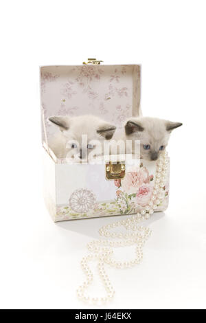 pet box necklace cat baby kitten purebred pussycat cat domestic cat two siamese - Stock Photo