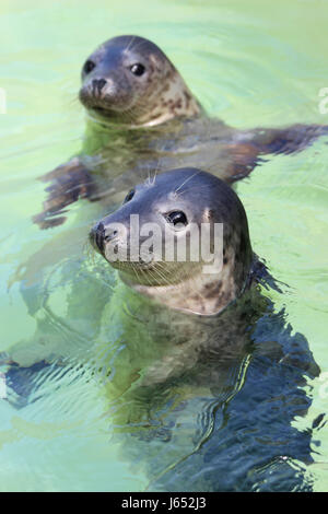 Rescued Grey Seal Pups - Stock Photo