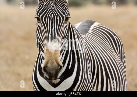 Portrait of an adult Grevy's zebra (Equus grevyi). Lewa Wildlife Conservancy, Kenya. - Stock Photo