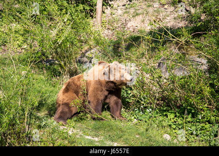 A brown bear in the Bear Park in the swiss city of Bern. - Stock Photo