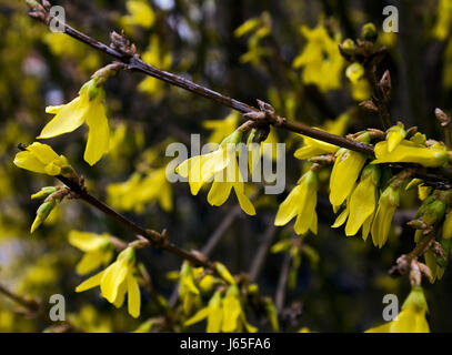 Messengers of spring.Blooming Forsythia - Stock Photo