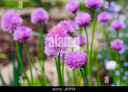 A pink flowers of chives, Allium schoenoprasum growing in the garden - Stock Photo