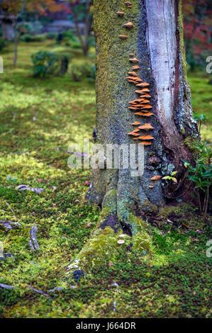 Mushrooms grow on tree bark during autumn in Japanese garden in Kyoto - Stock Photo