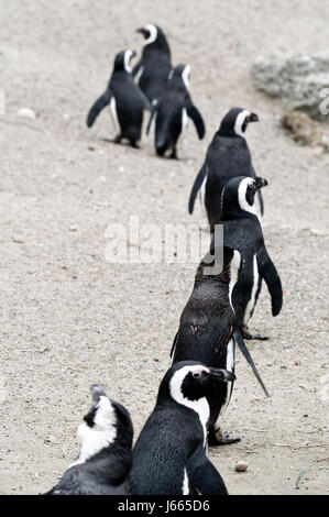 penguin fauna penguin outside deserted nature brillenpinguin brillenpinguine - Stock Photo