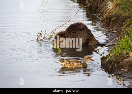 Beaver chewing on branch in a stormwater wetland treatment pond where vegetation filters runoff from streets before - Stock Photo