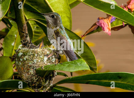 A mother Anna's Hummingbird feeding her newly hatched pair of chicks at a nest in Vancouver, BC. - Stock Photo