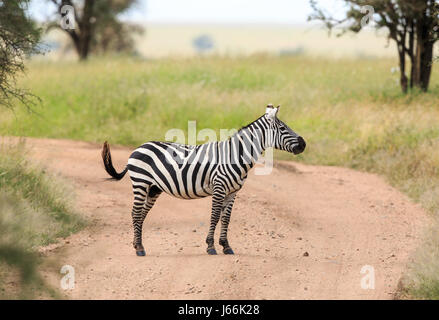 A Plains Zebra stallion oblivious he is in the middle of the road in the Serengeti. - Stock Photo
