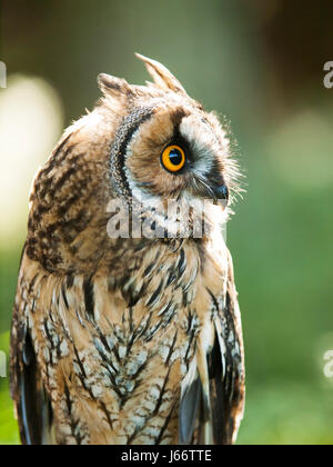 Portrait of Long-eared owl - Asio otus otus Stock Photo