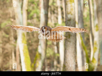 Portrait of long-eared owl with  spreaded wings out - Asio otus Stock Photo