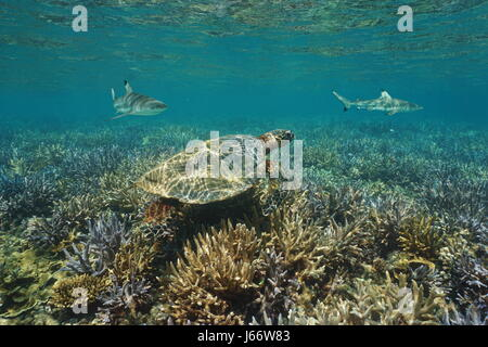 Shallow coral reef underwater with an hawksbill sea turtle and blacktip reef sharks, south Pacific ocean, New Caledonia - Stock Photo