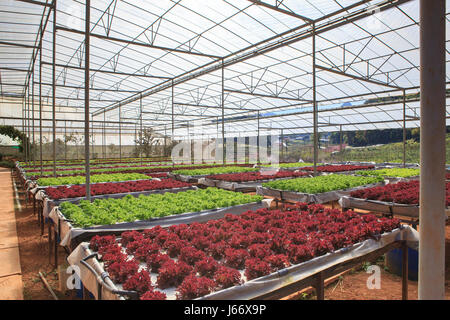 green house plant of Organic hydroponic vegetable cultivation farm