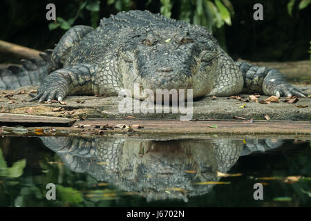 Saltwater crocodile (Crocodylus porosus) basking in sun, with reflection in the calm surrounding water. - Stock Photo